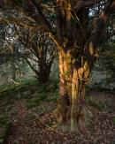 Yew, Cringlebarrow Wood
