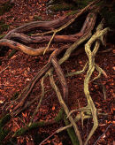 Yew Roots