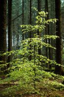 Young Beech Tree, Entwistle 01