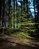 Young Beech Tree, Entwistle 03