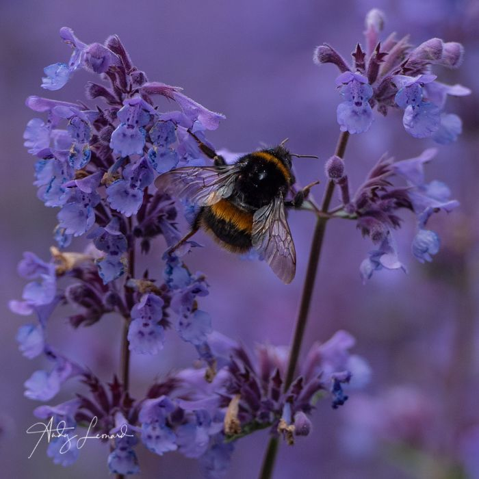 Bumble Bee on Nepeta