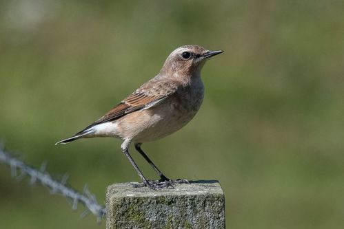 Female Wheatear