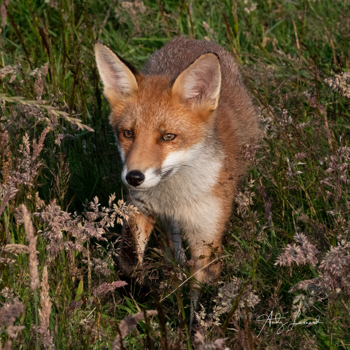 Fox, Aberdeenshire