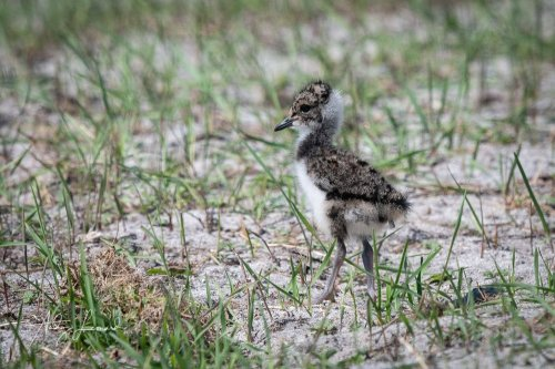 Lapwing chick, South Uist