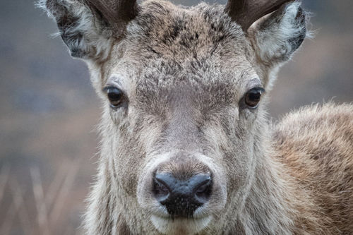 Red Deer Stag, Torridon