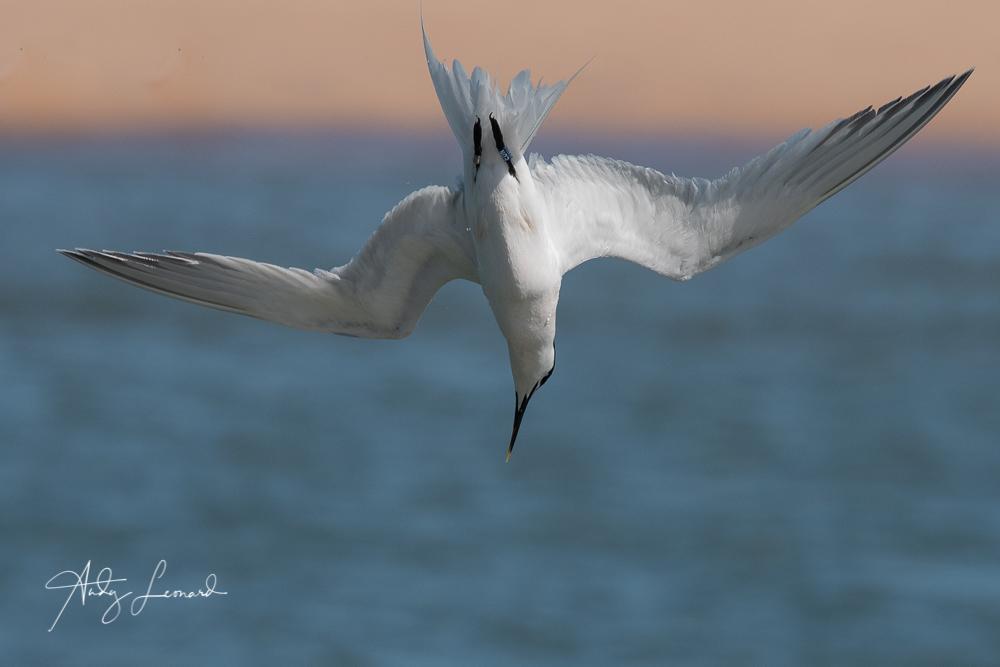 Sandwich Tern diving-2