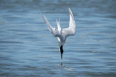 Sandwich Tern diving