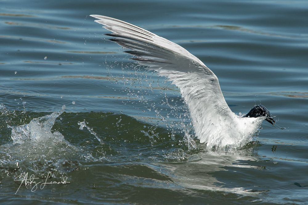 Sandwich Tern surfacing