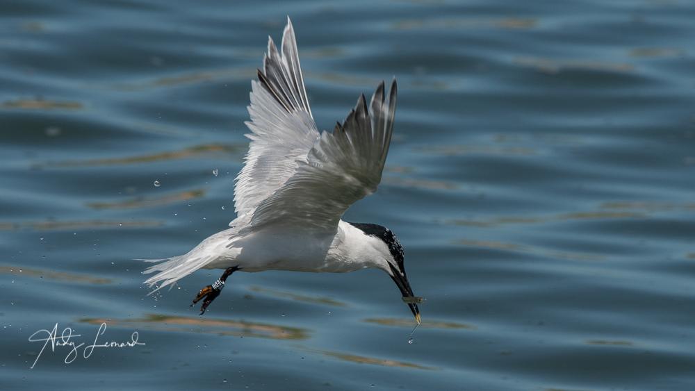 Sandwich Tern with fish