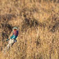 Lilac Breasted Roller Botswana