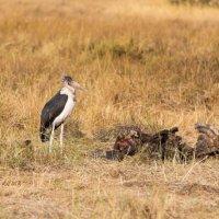 Marabou Stork - Okavango Delta - Botswana