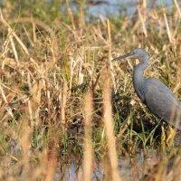 Slaty Egret-Botswana