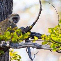 Vervet monkey-Okavango Delta