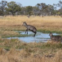 Bush Buck-Okavango Delta