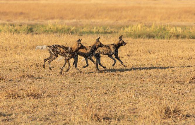 2021 01 17 - Painted Dogs, Botswana