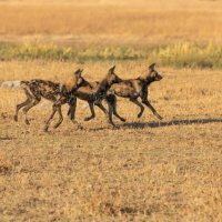 2021 01 17 - Painted Dogs, Botswana