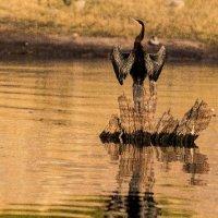 Anhinga rufa-Chobe River-Botswana