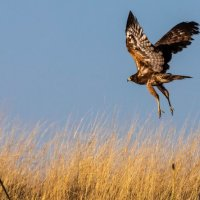 Eagle-Chobe River-Botswana (1 of 1)
