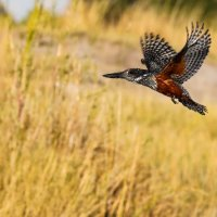 Giant Kingfisher-Chobe River-Botswana (1 of 1)