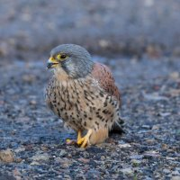 Kestrel at Brockholes Nature Reserve