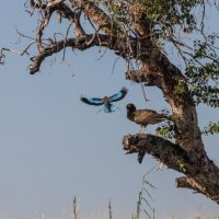 LBR v Eagle-Chobe River-Botswana (1 of 1)