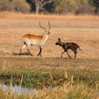 Red Lechwe and African Wild Dog - Okavango Delta - Botswana