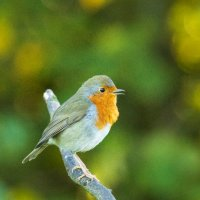 Robin in good voice