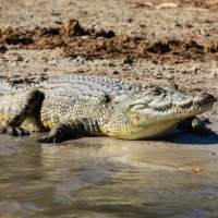 crocodile-Chobe River-Botswana (1 of 1)