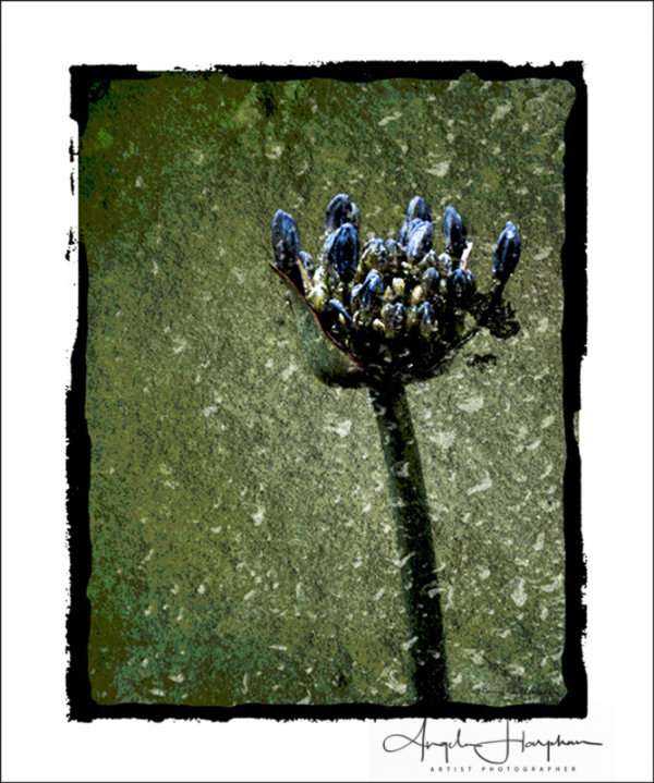 Agapanthus Deep Blue Photo