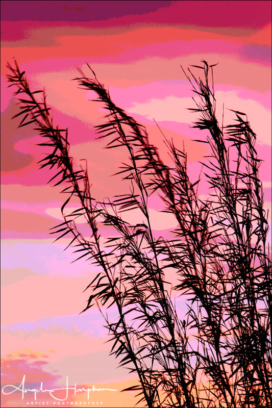 Bamboo at Sunset Photograph-