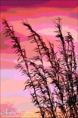 Bamboo at Sunset Photograph-