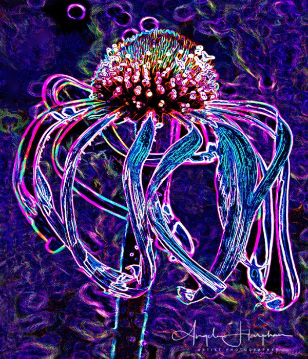 Echinacea Blue
