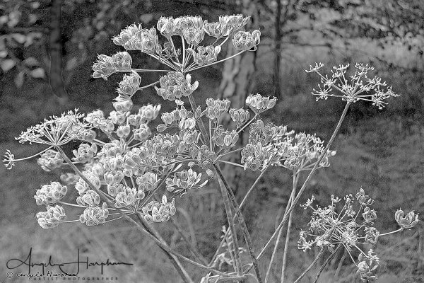 Hedge Parsley Mono Photograph