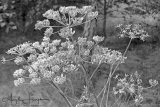Hedge Parsley Mono Photograph
