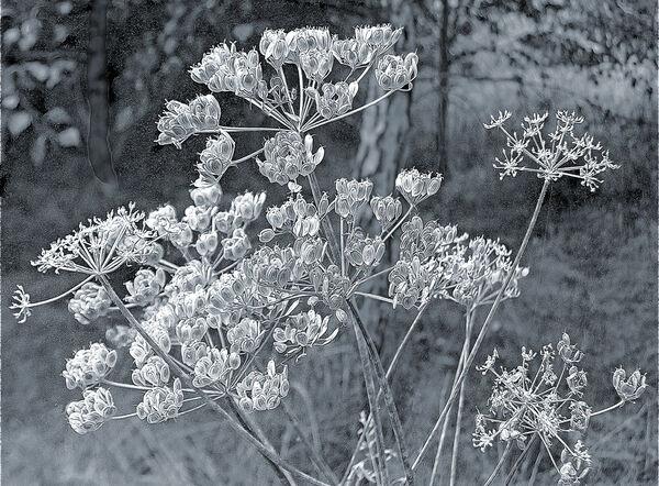 Hedge Parsley Seed Heads Sheffield Mono Photograph
