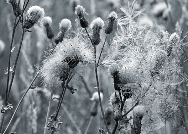 Knapweed Seed Pods Mono Photograph