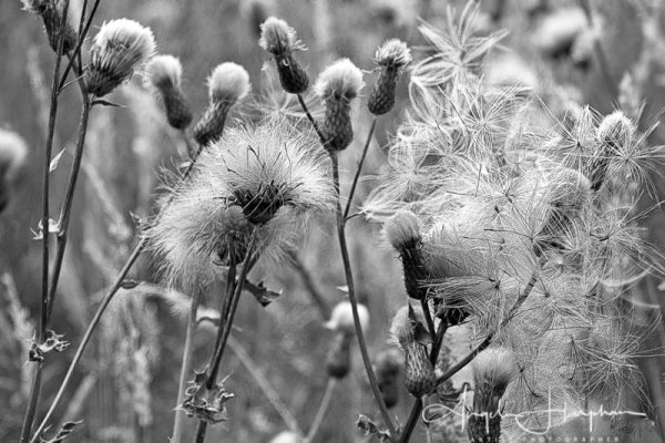 Seed Heads Sheffield Mono Photograph