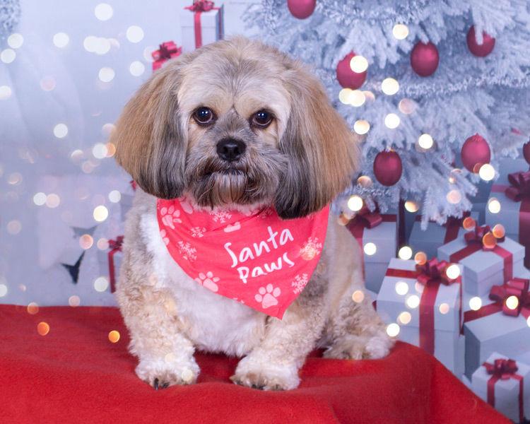 Christmas Pet Portrait Mini Session