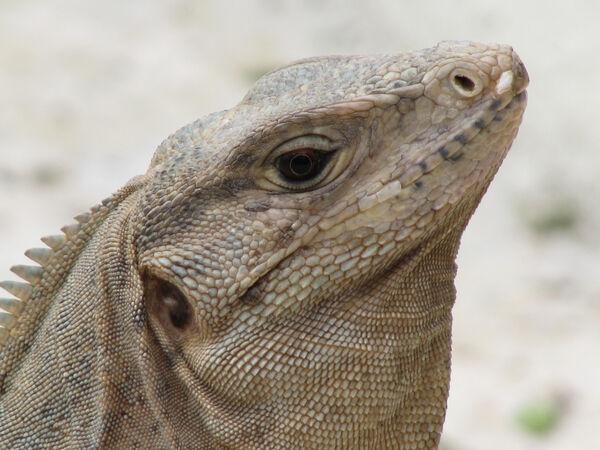 Ellie Enking - Iguana