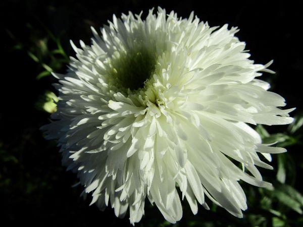 Ellie Enking - Leucanthemum Fiona Coghill
