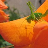 Green Cricket