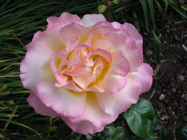 Guy Partington - Rose
