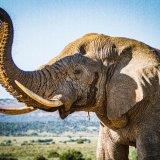 Hi One! (Male African Elephant)