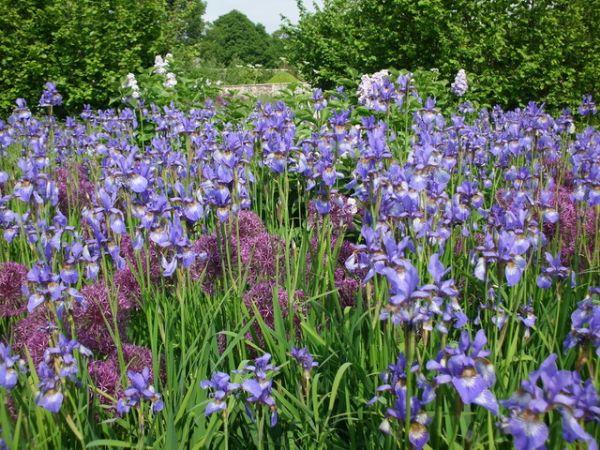 Jill Howell - Blue Irises in May