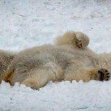 Just Rolling Around (Polar Bear - Svalbard)