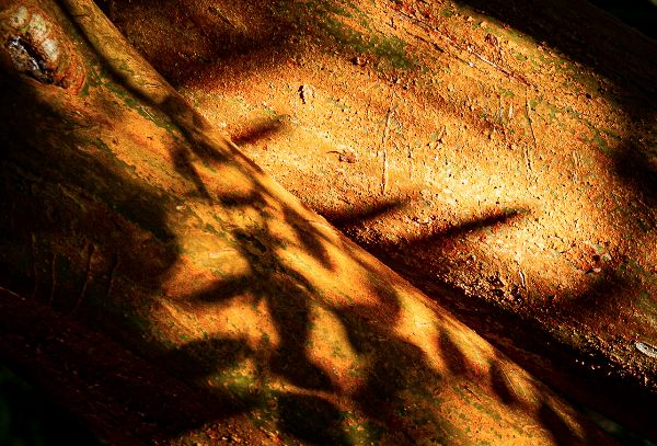 Larry Darby - Eucalyptus Bark