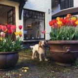 Lustleigh tulips