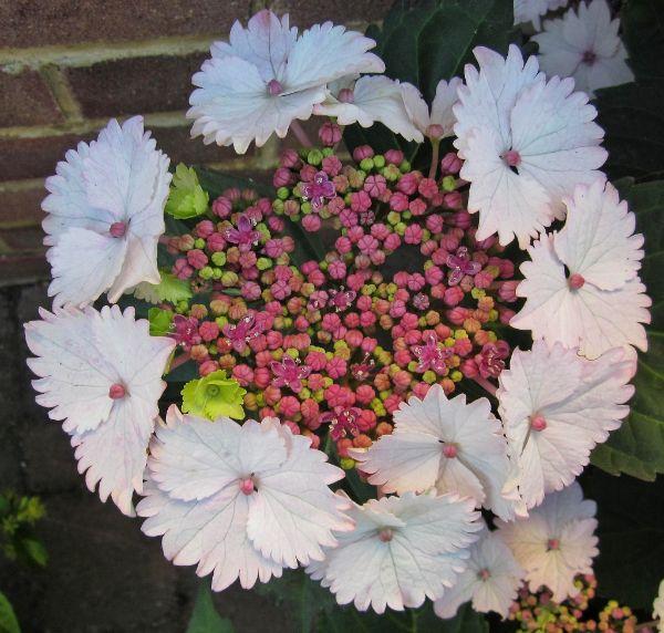 Mike Hubbard - Macrophylla Hydrangea