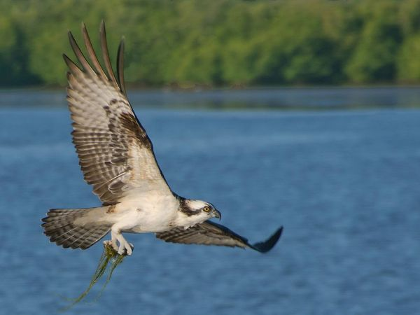 Osprey Collects Nesting Material
