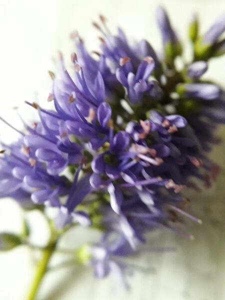 Peter Dunlop - Hebie Flower